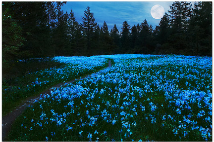 Camas_lilies_in_moonlight
