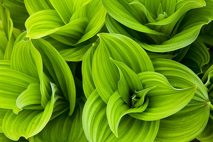 False_hellebore