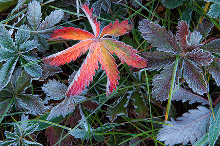 Frosted_autumn_plants2
