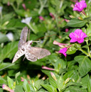 Hummingbird_moth_3